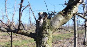 Rak drzew owocowych – zwalczanie zimą i na przedwiośniu