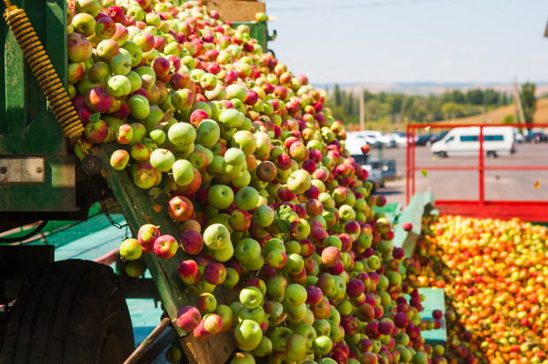 Mazowsze: Spadki cen jabłek przemysłowych