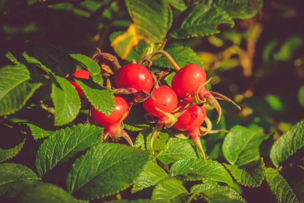 Sesja IOR-PIB: możliwości monitorowania i ograniczania szkodników róży pomarszczonej