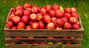 Ceny jabłek są zatrważająco niskie. Sadownikom jest coraz trudniej funkcjonować