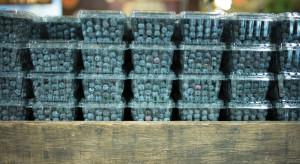 Zyskowność uprawy borówki jest zagrożona
