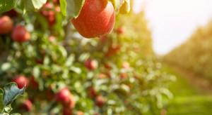 Polska straci pozycję lidera w produkcji jabłek?