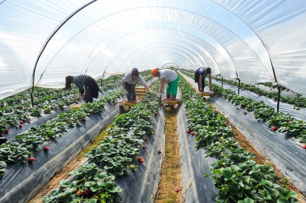 Wielka Brytania rozpoczyna program zatrudniania migrantów do prac sezonowych