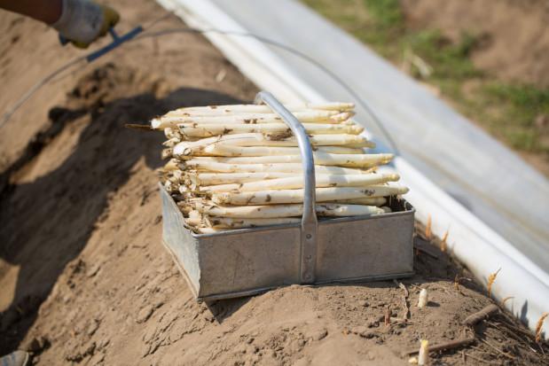 Niemcy: Zbiory szparaga rozpoczęły się wcześniej, dzięki technologii podgrzewania ziemi