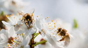 Wpływ urbanizacji na dzikie pszczoły większy, niż się wydawało