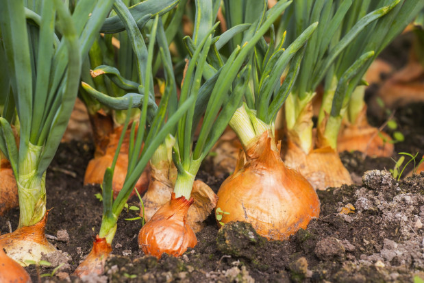 Włochy zwiększą liczbę gruntów pod uprawę cebuli