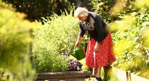 Rolniczki korzystające z programu 'Mama 4 plus' mogą przejść na korzystniejszą emeryturę