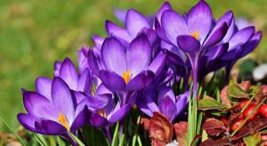 Dzisiaj rozpoczyna się astronomiczna wiosna