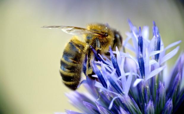 Ruszyła kampania na rzecz owadów zapylających - PomagamyPszczołomBezLipy