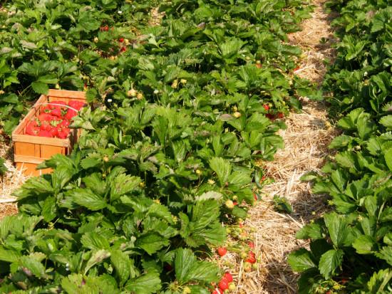 Włochy: Pogoda negatywnie wpływa na plantacje truskawek