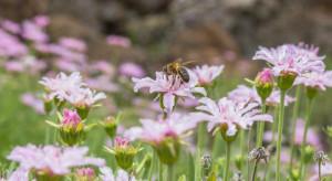 Pszczoły radzą sobie lepiej z dala od pól uprawnych