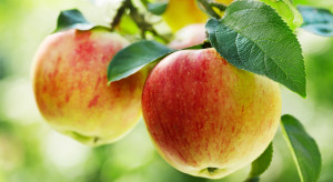 Nowozelandzka firma T&G przeprowadziła zautomatyzowane zbiory jabłek (video)