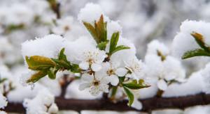 Emilia-Romania, Włochy: Spadek temperatur budzi niepokój sadowników