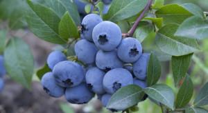 Nowe odmiany borówek wchodzą na hiszpański rynek