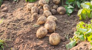 Nicienie - stały problem w uprawach ziemniaka