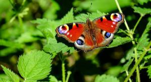 Niemcy: Liczba motyli w sąsiedztwie pól uprawnych gwałtownie spada