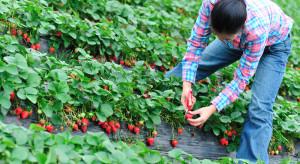 Czy pracownicy z Azji będą koniecznością w czasie zbiorów owoców i warzyw?