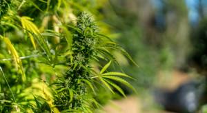 Gmina Przytyk: Plantacja marihuany w tunelu na paprykę