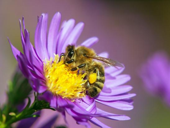 Niemcy: Społeczny program na rzecz ratowania pszczół przyjęty przez rząd