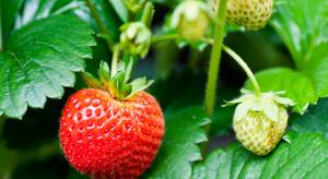 Odmiany truskawek na cele przetwórcze