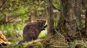 Ministerstwo Środowiska o zmianach procedur dotyczących szacowania szkód bobrowych
