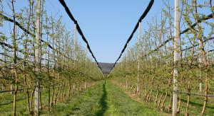 Mączniak jabłoni - czeka nas kolejny trudny sezon?
