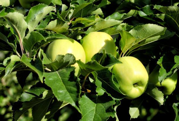 Jak zadbać o wygląd i jakość jabłek – bez ordzawień?