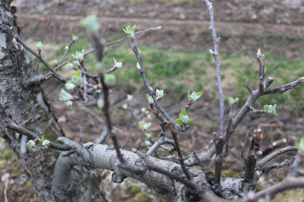 Parch jabłoni - decydujący etap