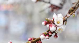 Francja: 40% kwitnących sadów morelowych dotkniętych mrozem