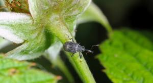 Kwieciak malinowiec zagraża plantacjom truskawek