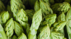 Największa w Europie plantacja zielonych szparagów mieści się w Wąsoszu (wywiad)