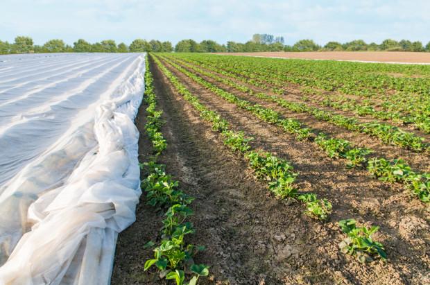 Brak deszczu doskwiera plantacjom truskawek