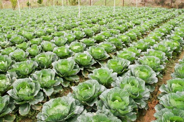 Nowe możliwości ochrony upraw warzywniczych