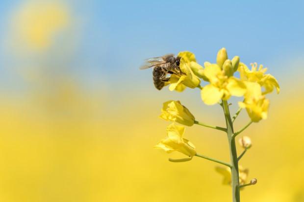 Pszczoły bardziej wytrzymałe na neonikotynoidy niż trzmiele