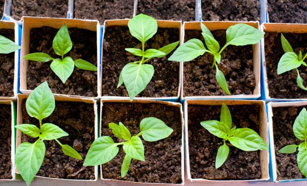 GUS: Warunki do wschodów roślin warzywnych mocno zróżnicowane