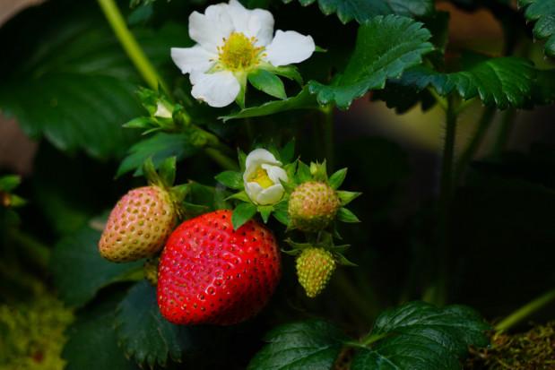 Czerwińsk nad Wisłą: Sezon truskawkowy może rozpocząć się znacznie wcześniej niż w ubiegłym roku