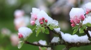 Po tegorocznych majowych mrozach sytuacja na rynku owoców może się odwrócić