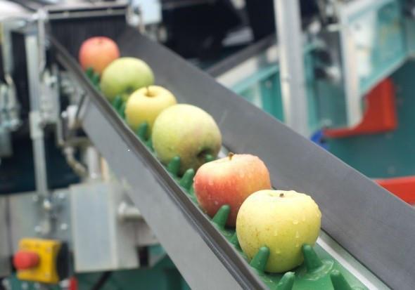 Sadownicy z Piemontu obawiają się konkurencji ze strony polskich jabłek
