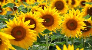 Ekolodzy z fundacji Arka zainaugurowali akcję sadzenia słoneczników