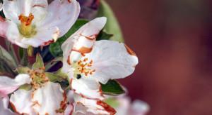 Zimny początek maja daje się we znaki pszczołom