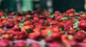 Producenci owoców jagodowych: Musimy zacząć budować wspólnotę na rynku (wideo)