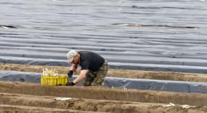 Niemieckie media: Coraz mniej chętnych do zbierania szparagów przez 500+ w Polsce