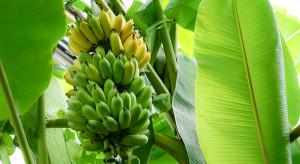 Badacze: Zmiany klimatu nasilają choroby bananowców