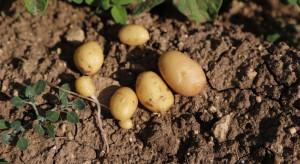 Rynek ziemniaków: Susza może doprowadzić do drugiego z kolei sezonu niedoborów i wysokich cen