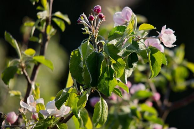Sadownik z Czepielina: Jabłek w tym sezonie nie będzie. Przez mróz straciłem nawet  90 proc. uprawy