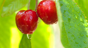 Jak można ochronić czereśnie przed pękaniem?