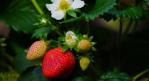 Ciepło i wilgotno – idealne warunki do infekcji chorób grzybowych truskawki