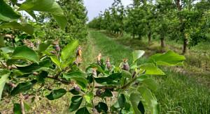 Nowy fungicyd do zwalczania parcha jabłoni i gruszy od Innvigo