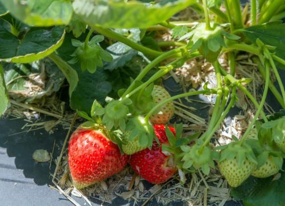 Plantatorzy truskawek: Mniejsze plony przez atak szarej pleśni