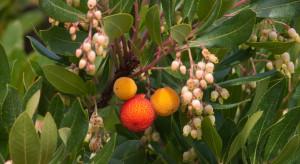 Miód z drzewa poziomkowego hamuje rozwój raka jelita grubego